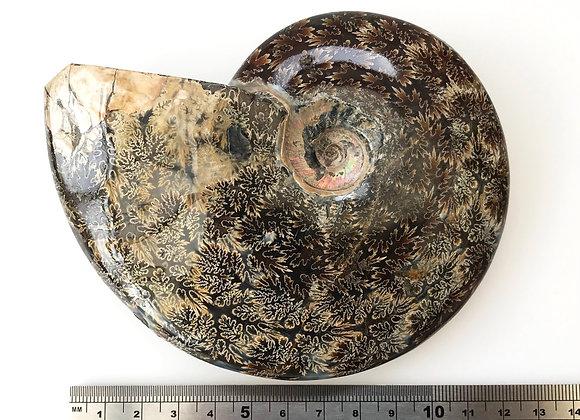 Ammonite 'Cleoniceras'