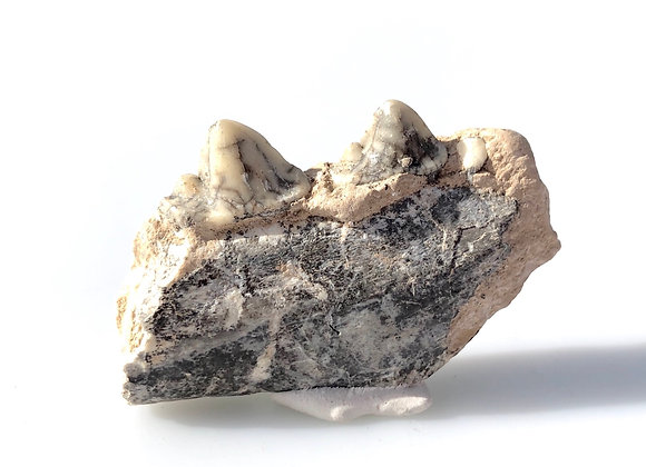 Ictitherium Tooth & Jaw