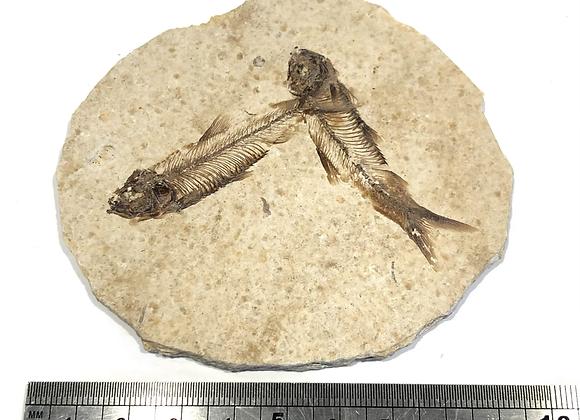 Well Preserved Knightia Fish Pair