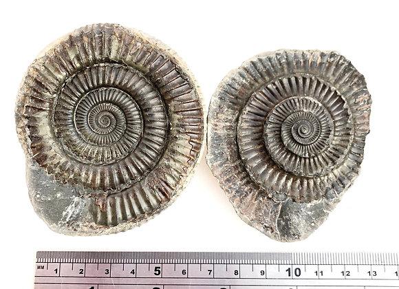 Ammonite Dactylioceras 'Popper'