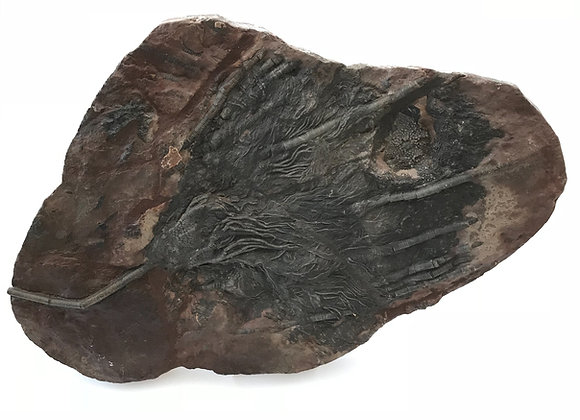 Scyphocrinites Crinoid Plate
