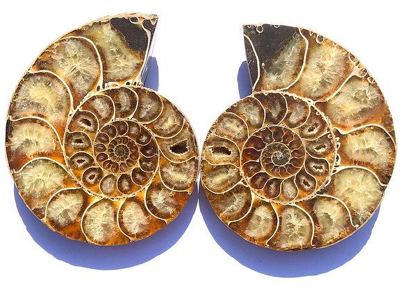 Desmoceras Ammonite Pair