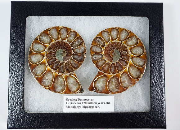Ammonite Pair 'Desmoceras'