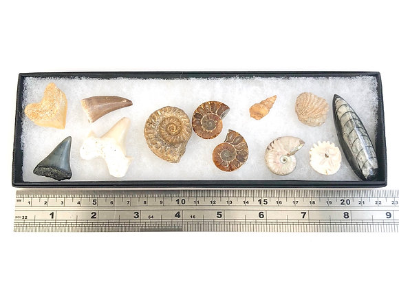 12 Fossils Collection