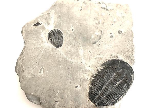 XXL Elrathia Trilobites