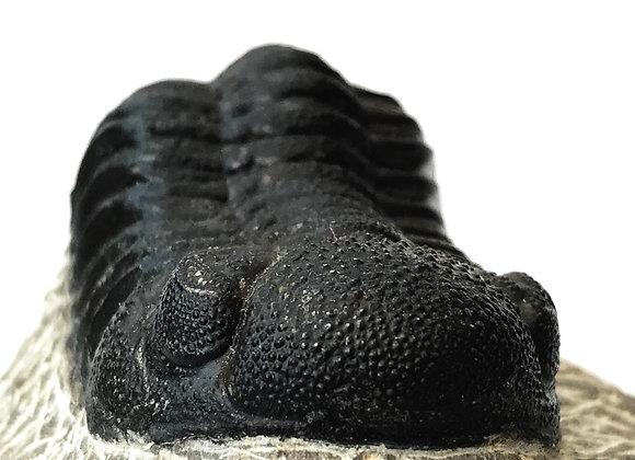 Trilobite 'Phacops'