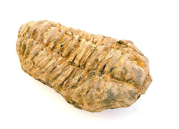Calymene Trilobite