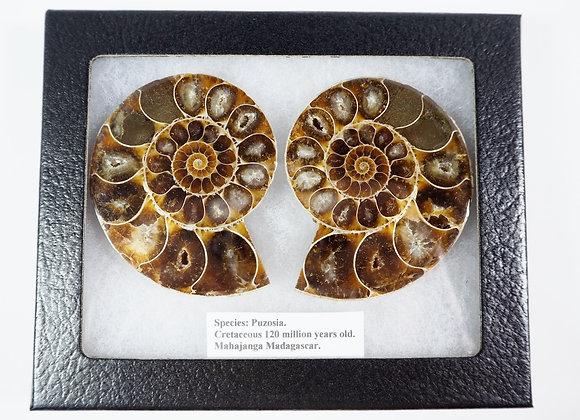 Ammonite Cut Pair 'Puzosia'