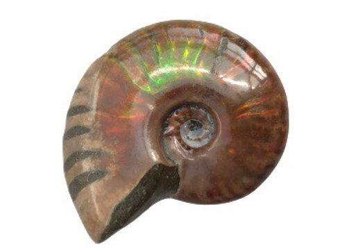 Lustre Cleoniceras Ammonite
