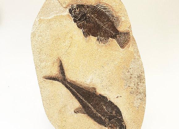 Fishes Diplomystus and Priscacara