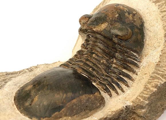 Paralejurus Hamlagdadicus Trilobite