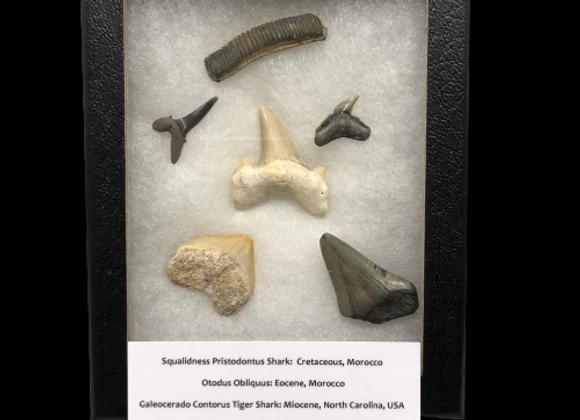 Shark Teeth and Ray Tooth in display box