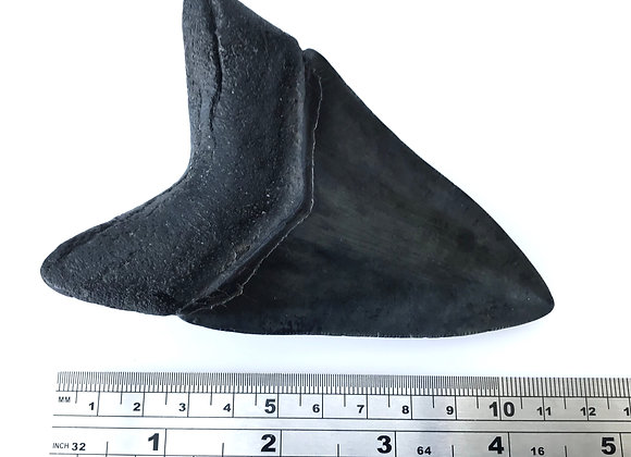 Carcharodon Megalodon Tooth