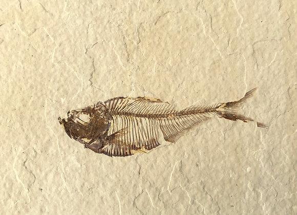 Diplomystus Fish