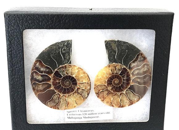 Ammonite 'Cleoniceras' Cut Pair
