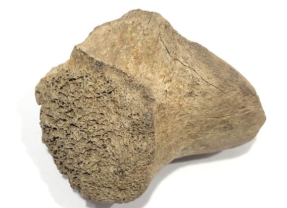 Ceratops Skull Bone