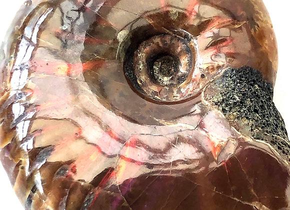 Ammonite 'Desmoceras'