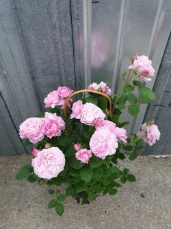 Rosier Mary Rose pot 5 litres