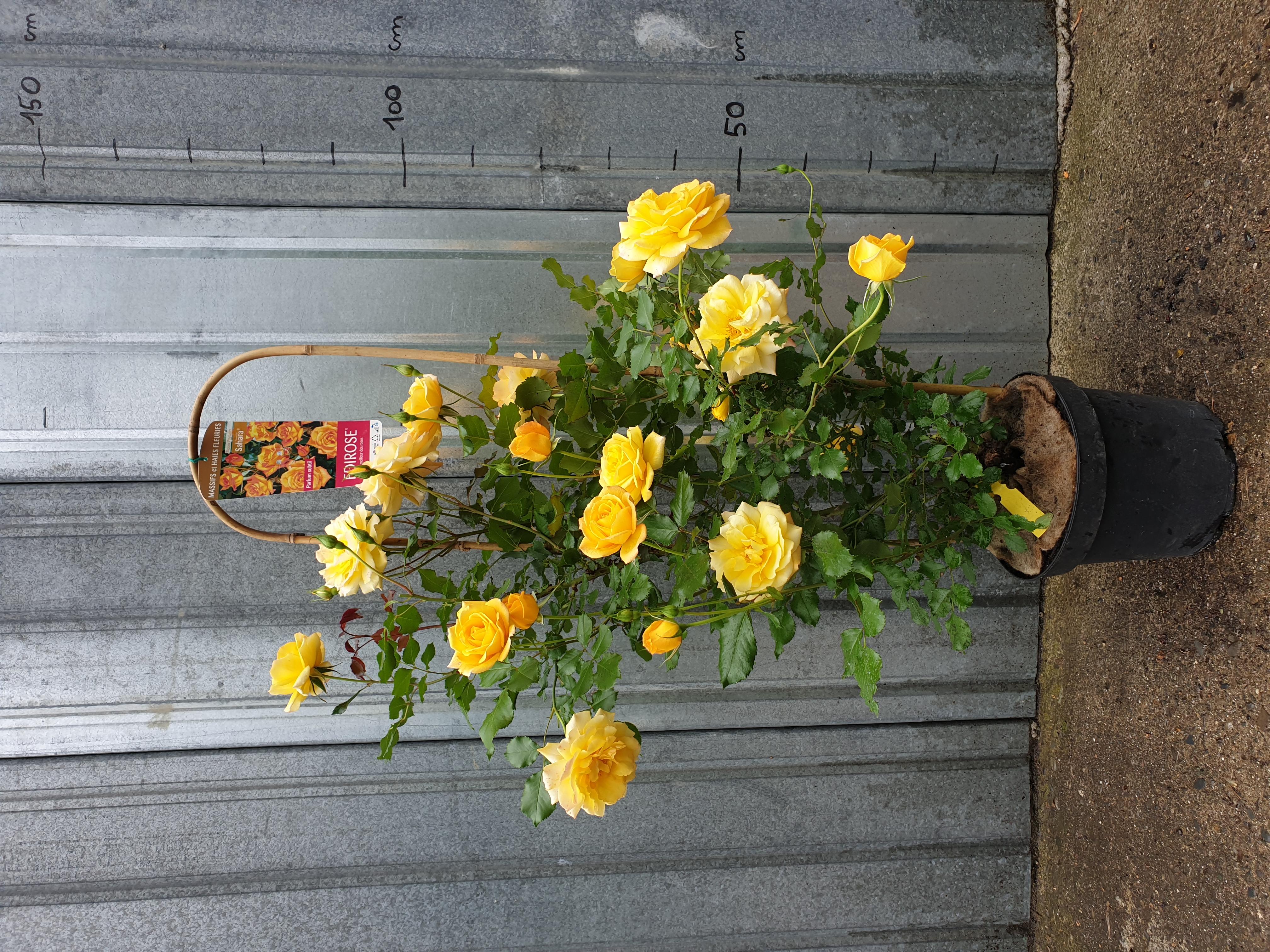 Rosier Sahara Grimpant pot 7,5 litres