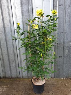 Rosier Grimpant Friesia pot 7,5 litres