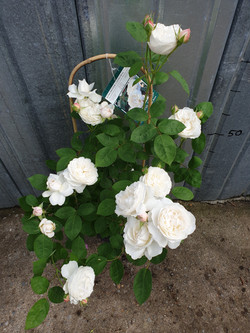Rosier Winchester Cathedral pot 5 litres