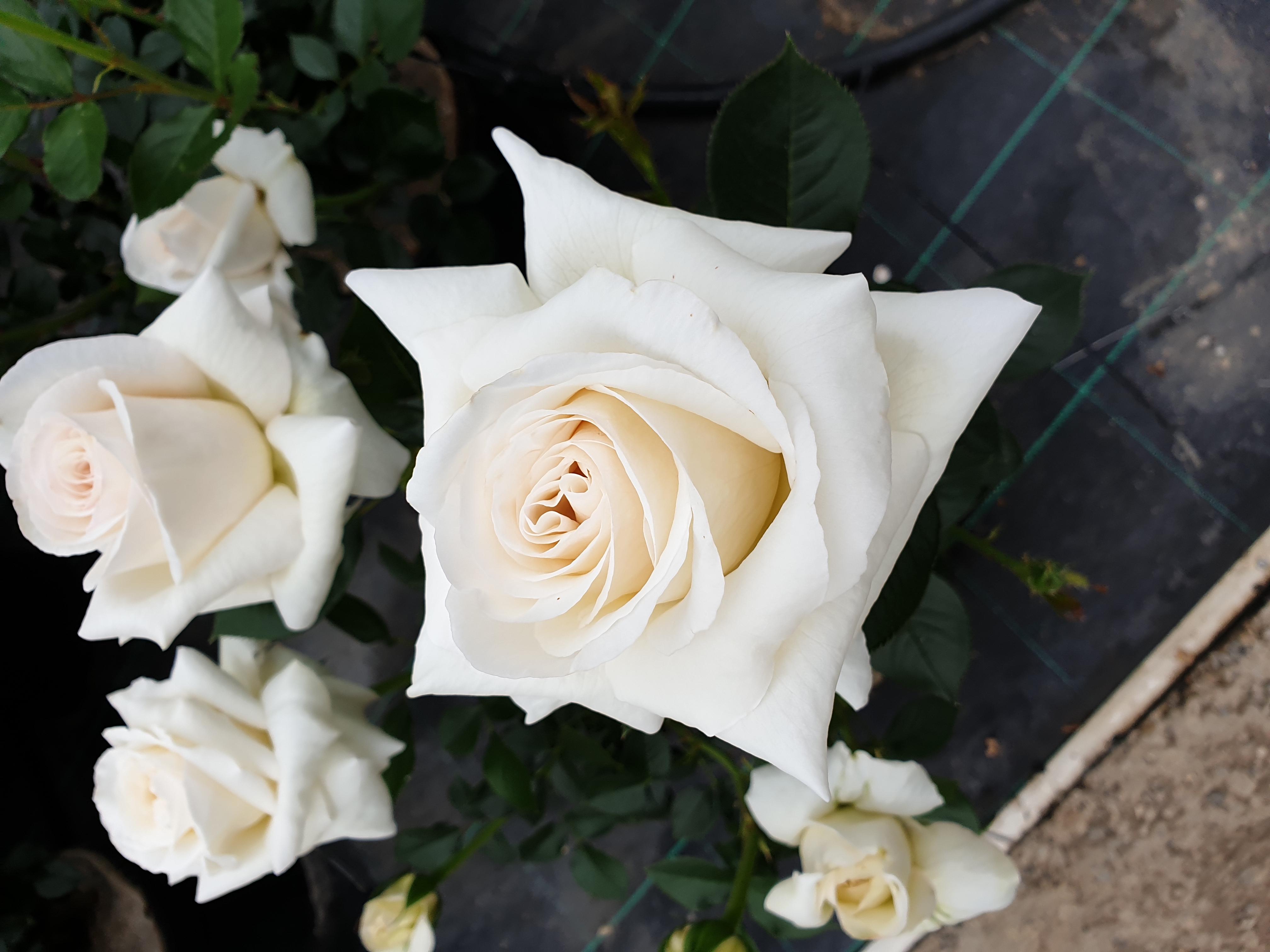 Rose Elvis
