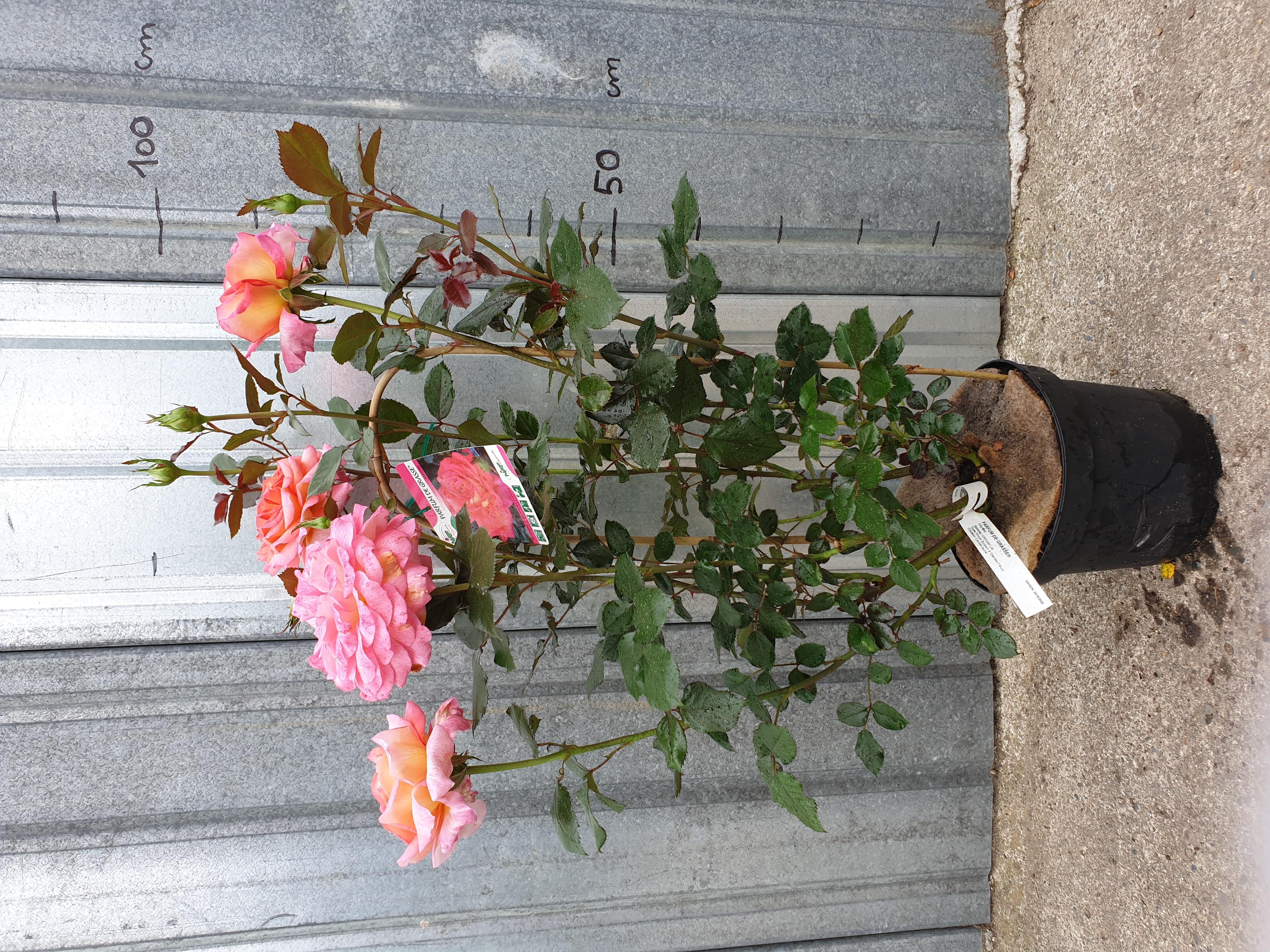 Rosier Parfum de Grasse pot 5 litres