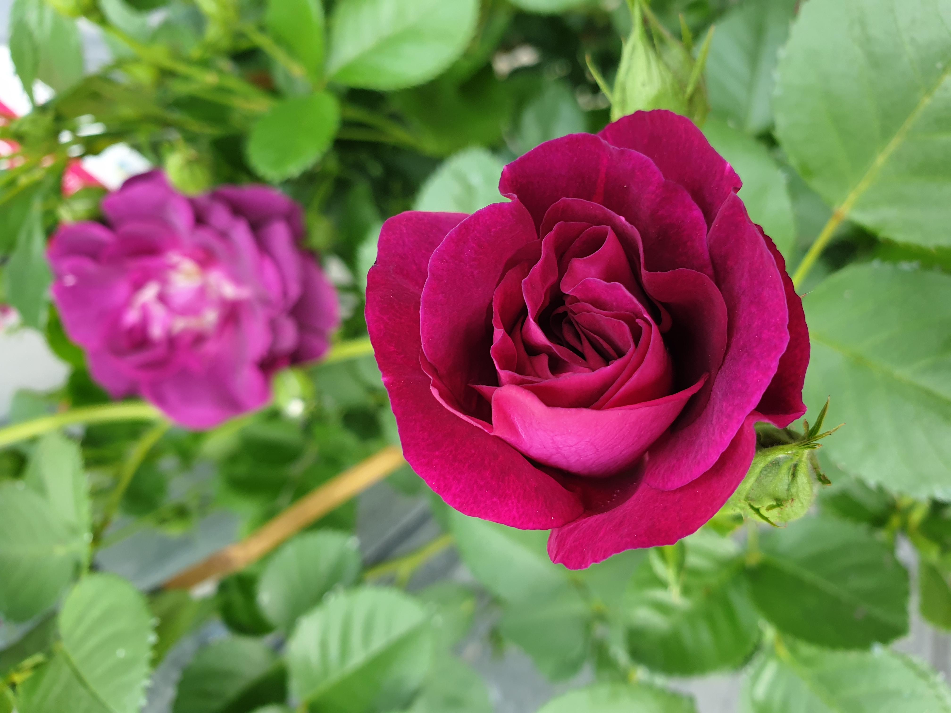 Rose Audacieuse