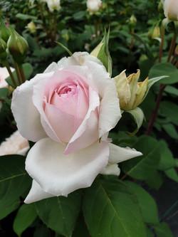 Rose Baie des Anges