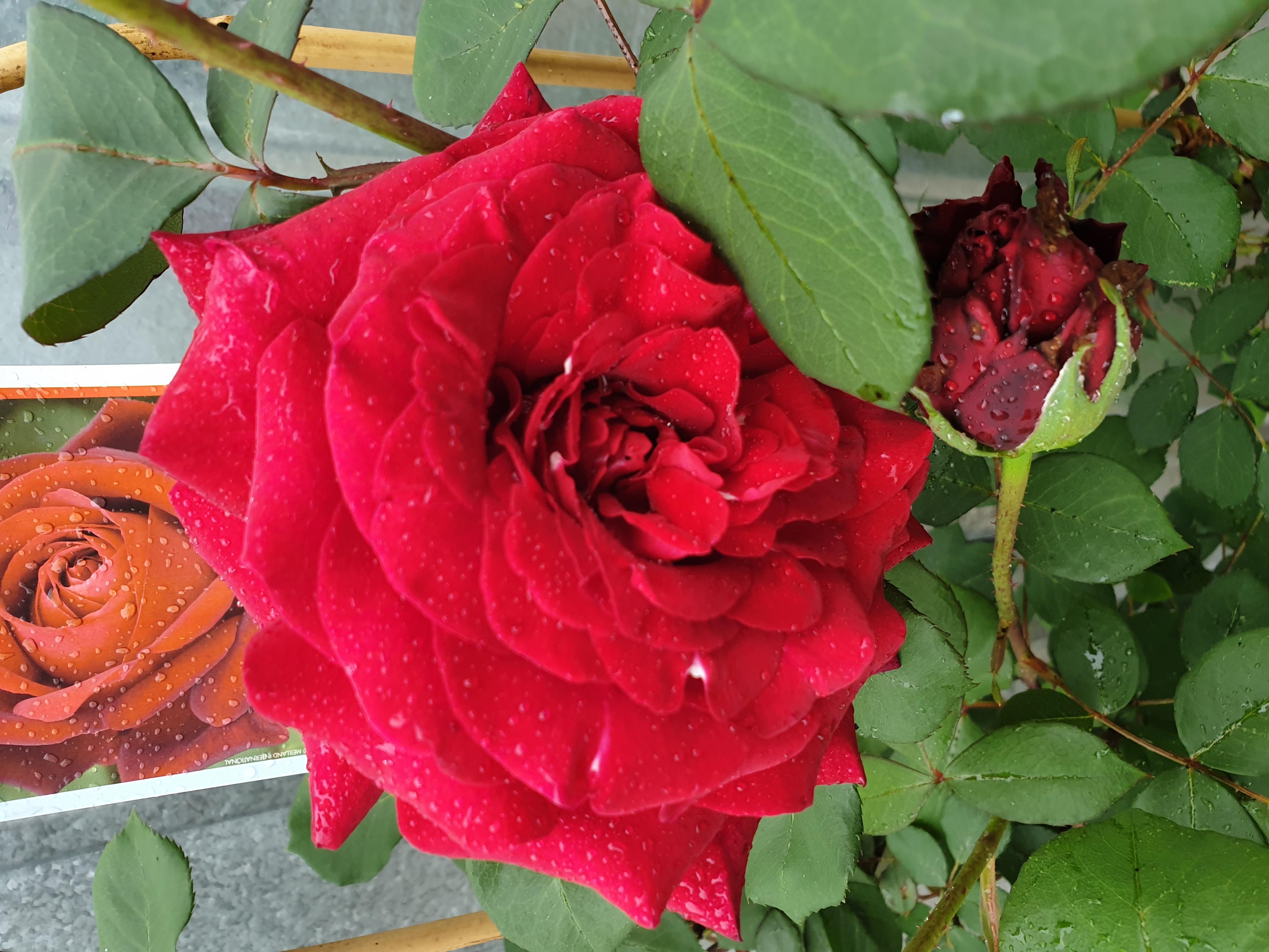 Rose Edith Piaf