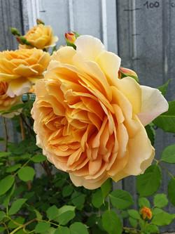 Rose Golden Celebratio