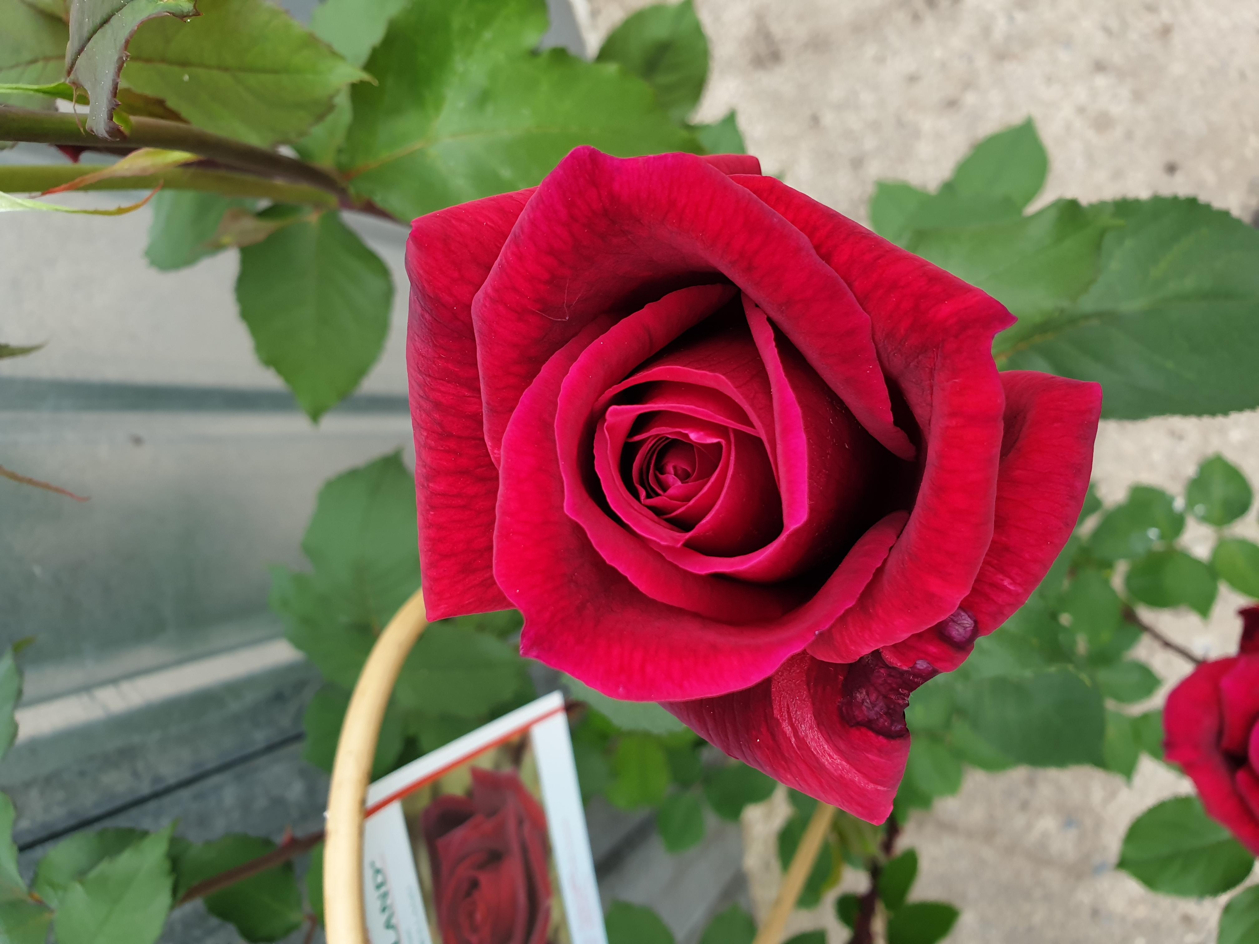 Rose Papa Meilland