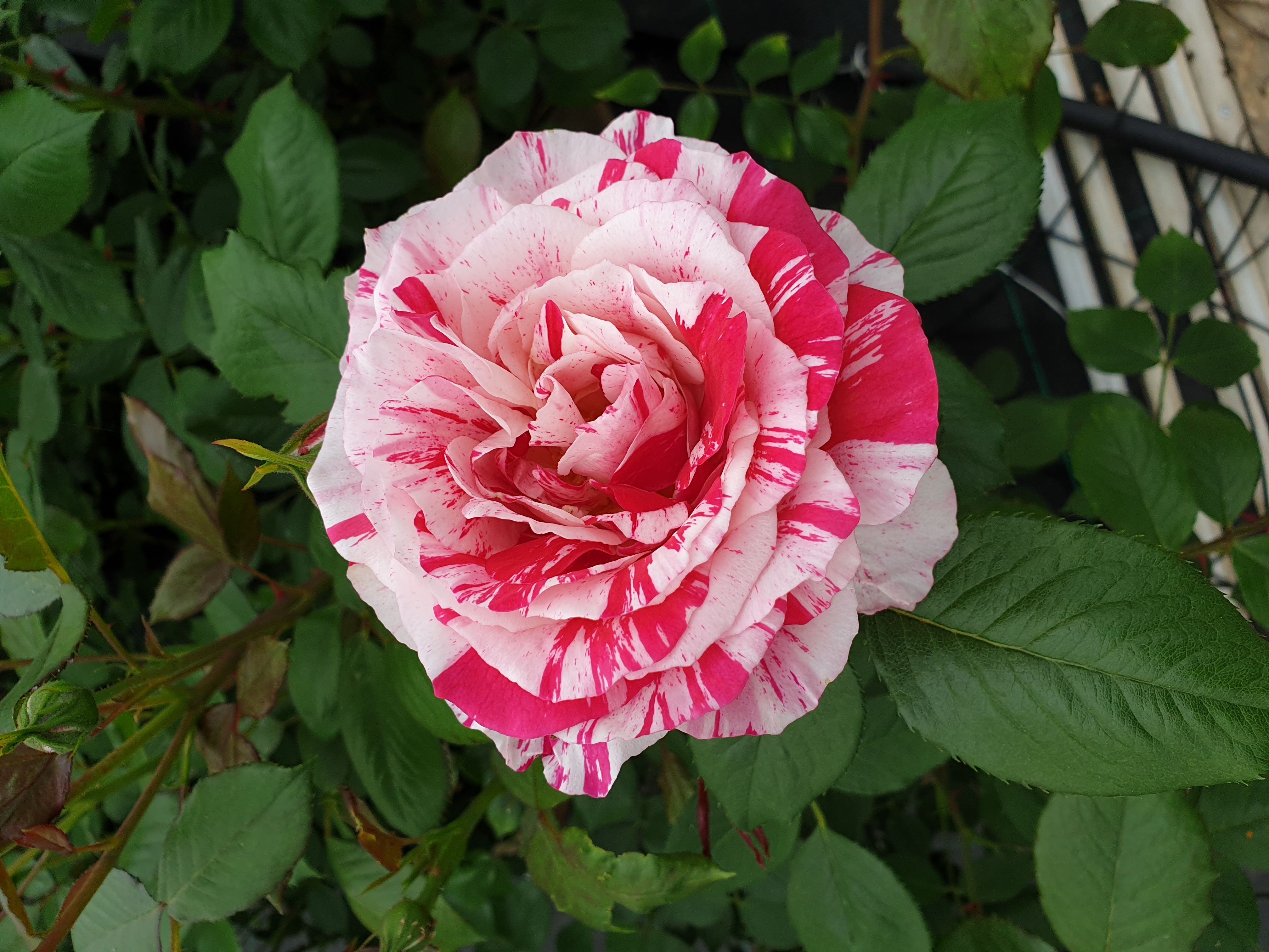Rose Scentimentale