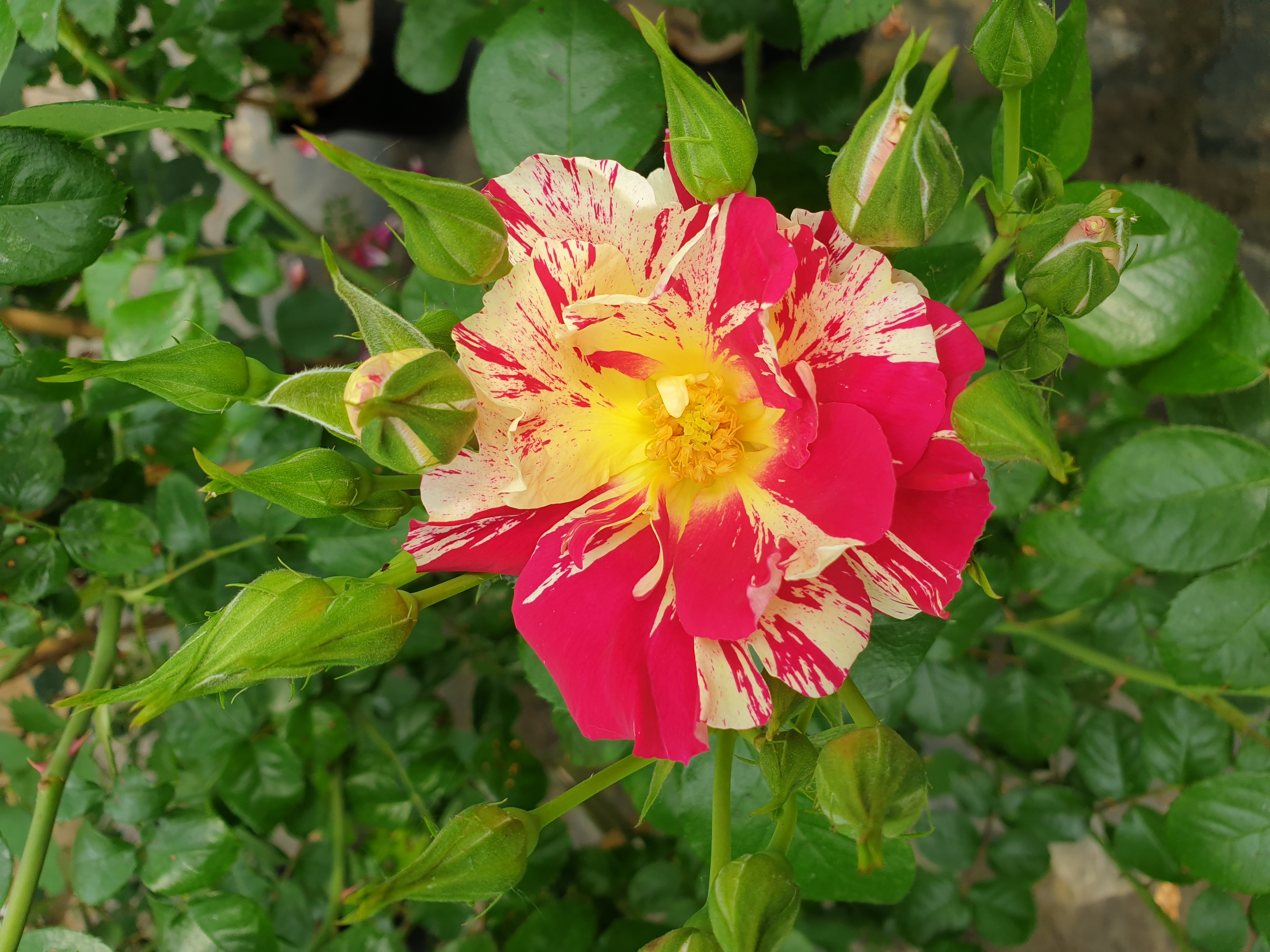 Rose Vihaipi