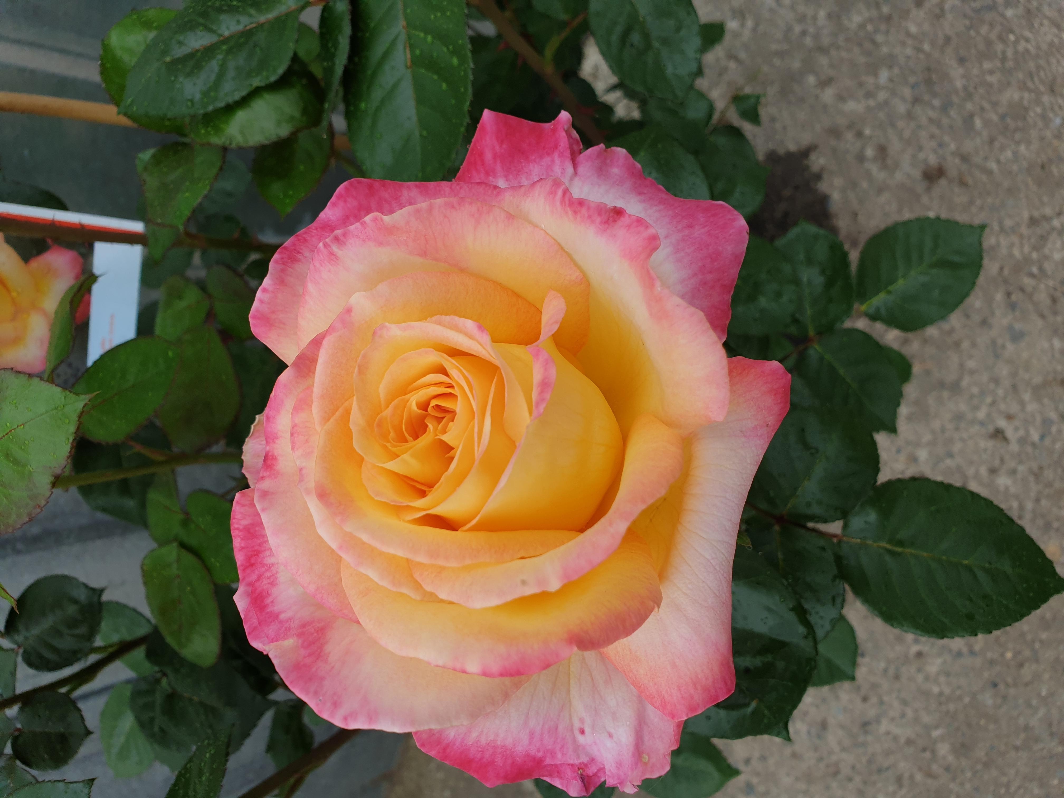 Rose Pullman Orient Express