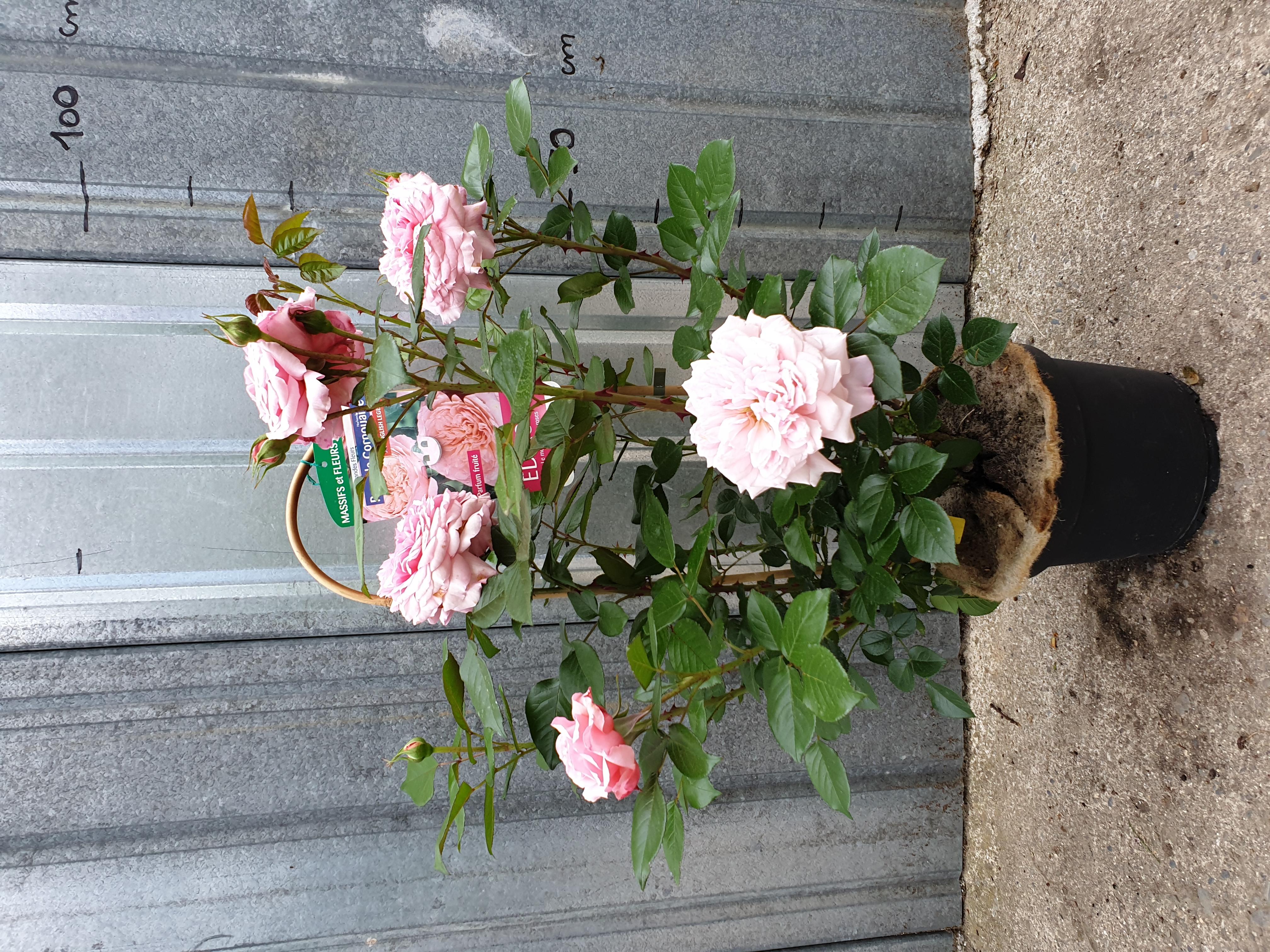 Rosier Rose de Cornouaille pot 5 litres