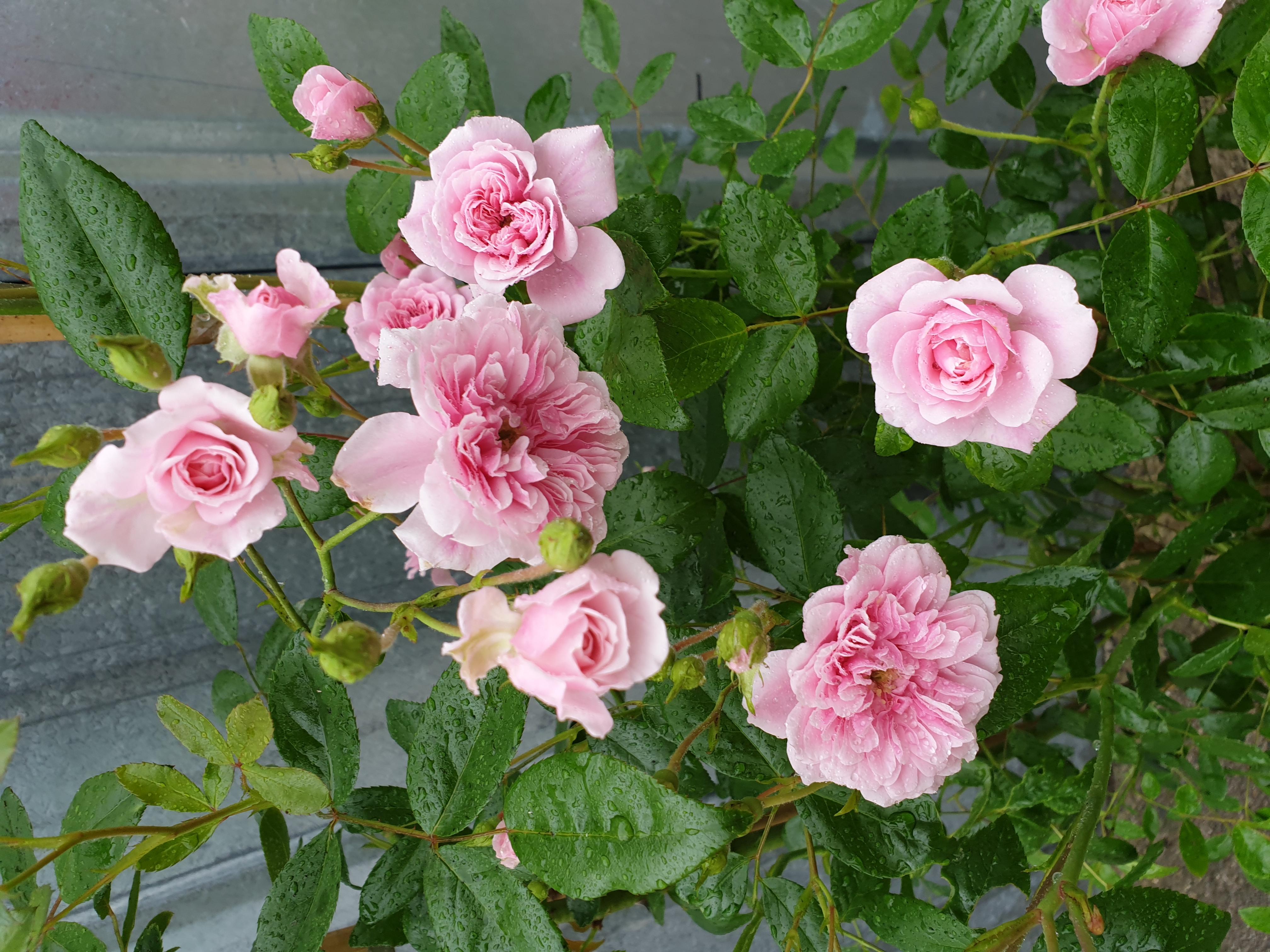 Roses Petit Bonheur