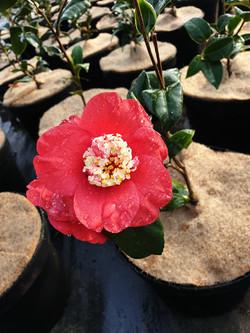 Camélia japonica Bokuhan