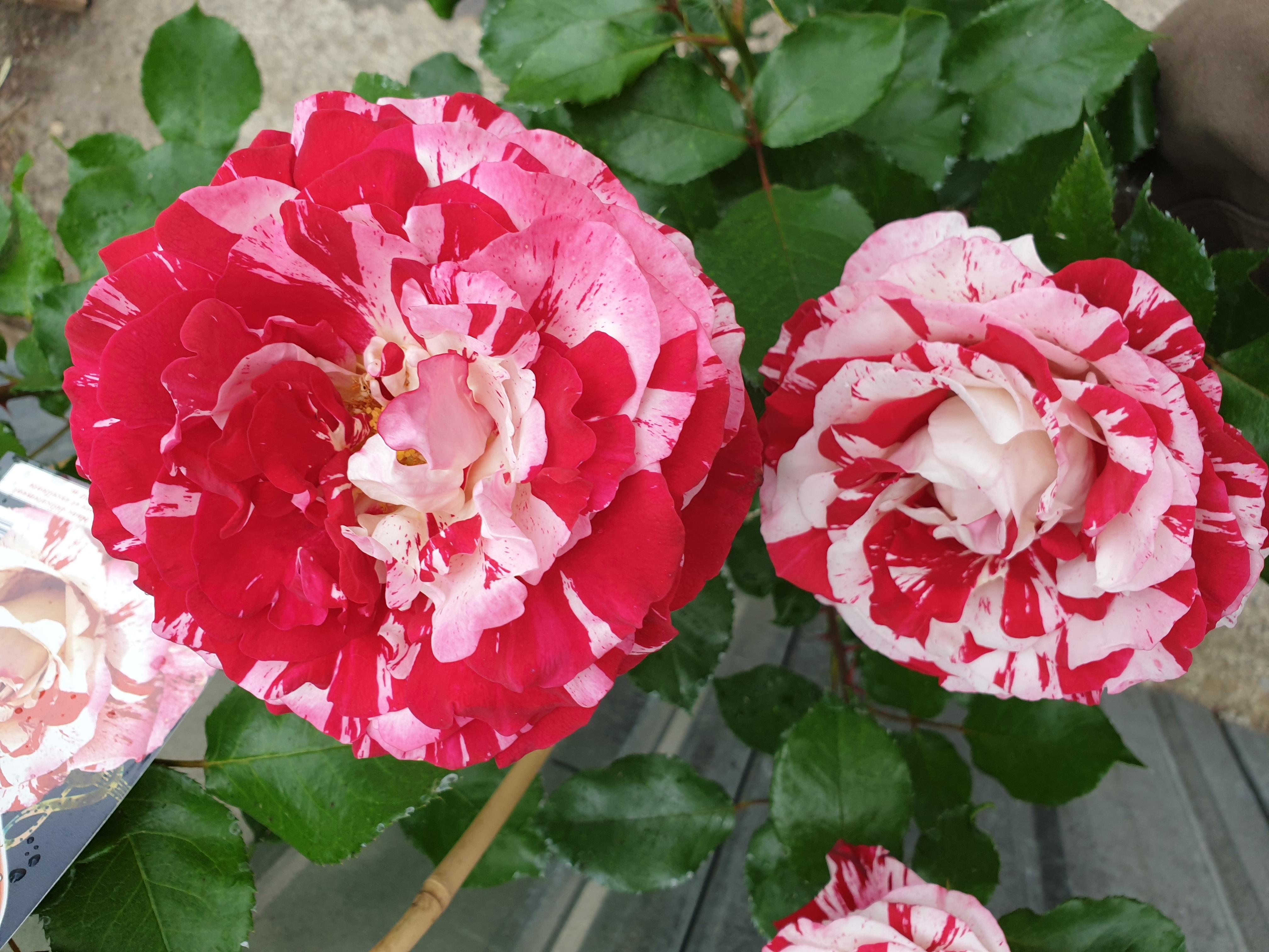 Rose Coeur de Rockeur