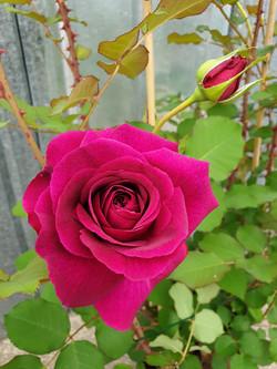 Rose Munstead Wood