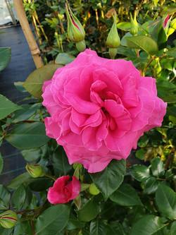 Rose Manou Meilland