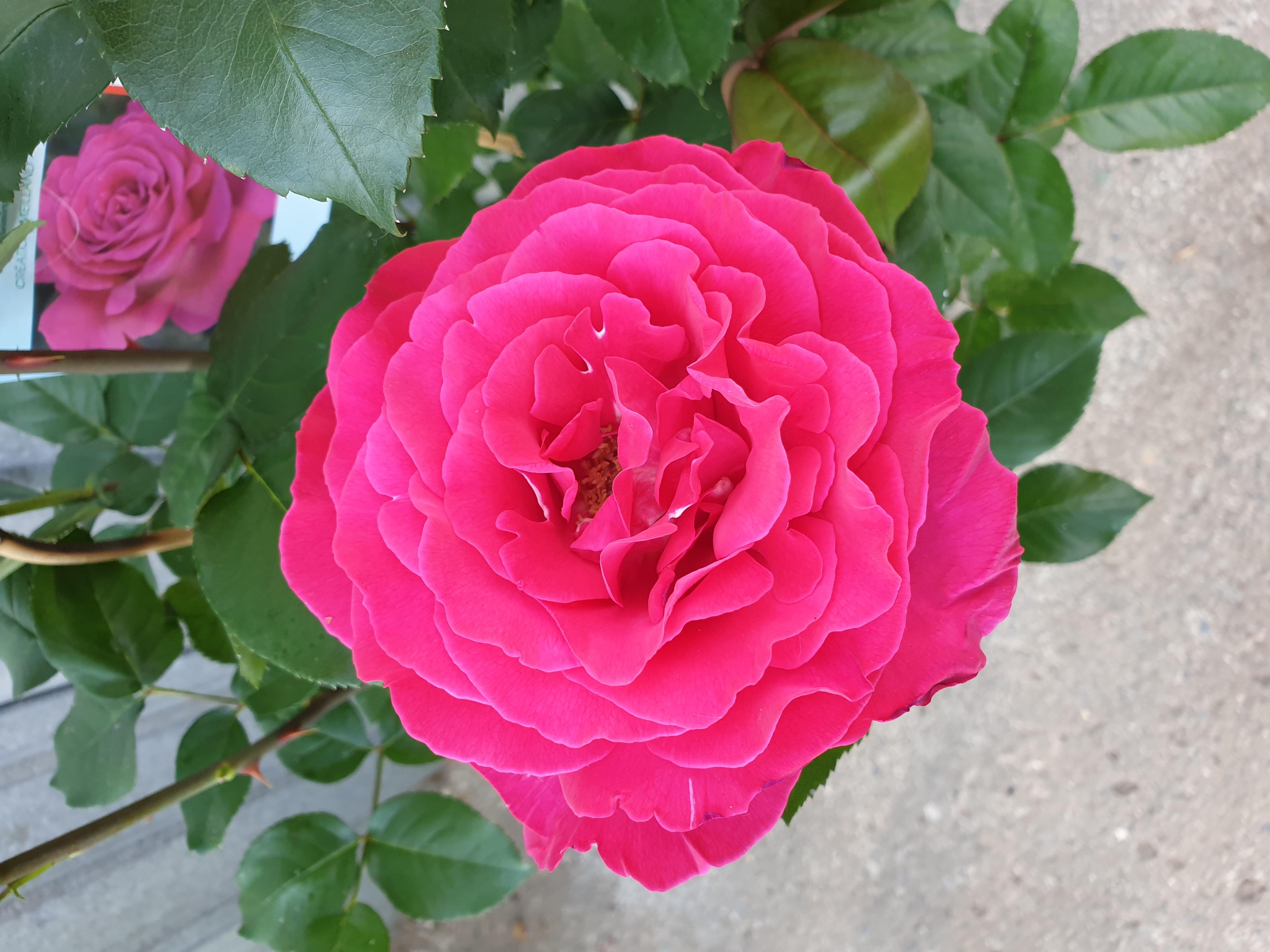 Rose Velasquez