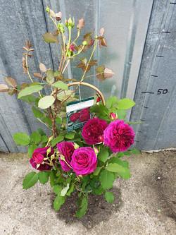 Rosier Munstead Wood pot 5 litres