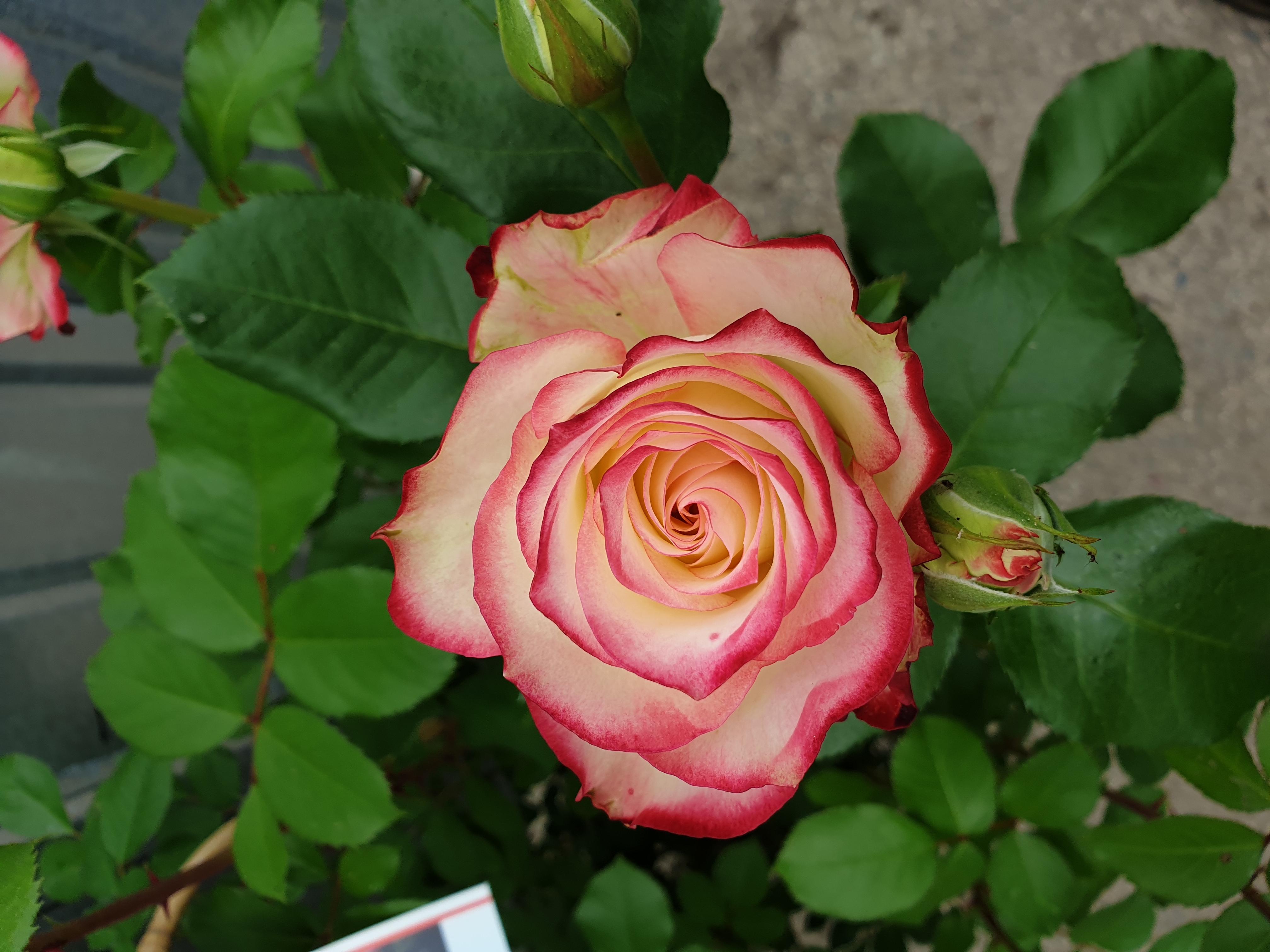 Rose Jubile Prince de Monaco