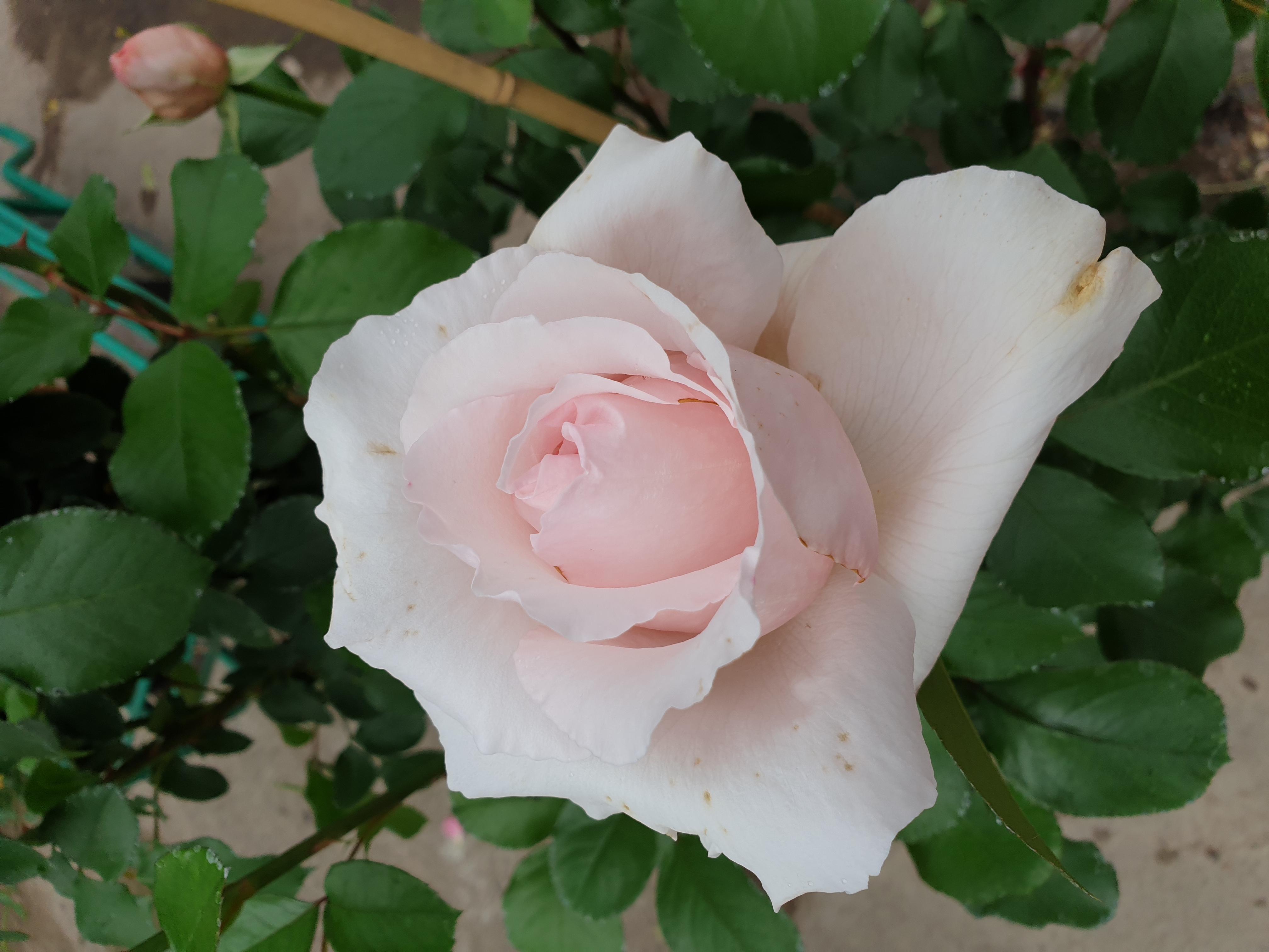 Rose André le Notre