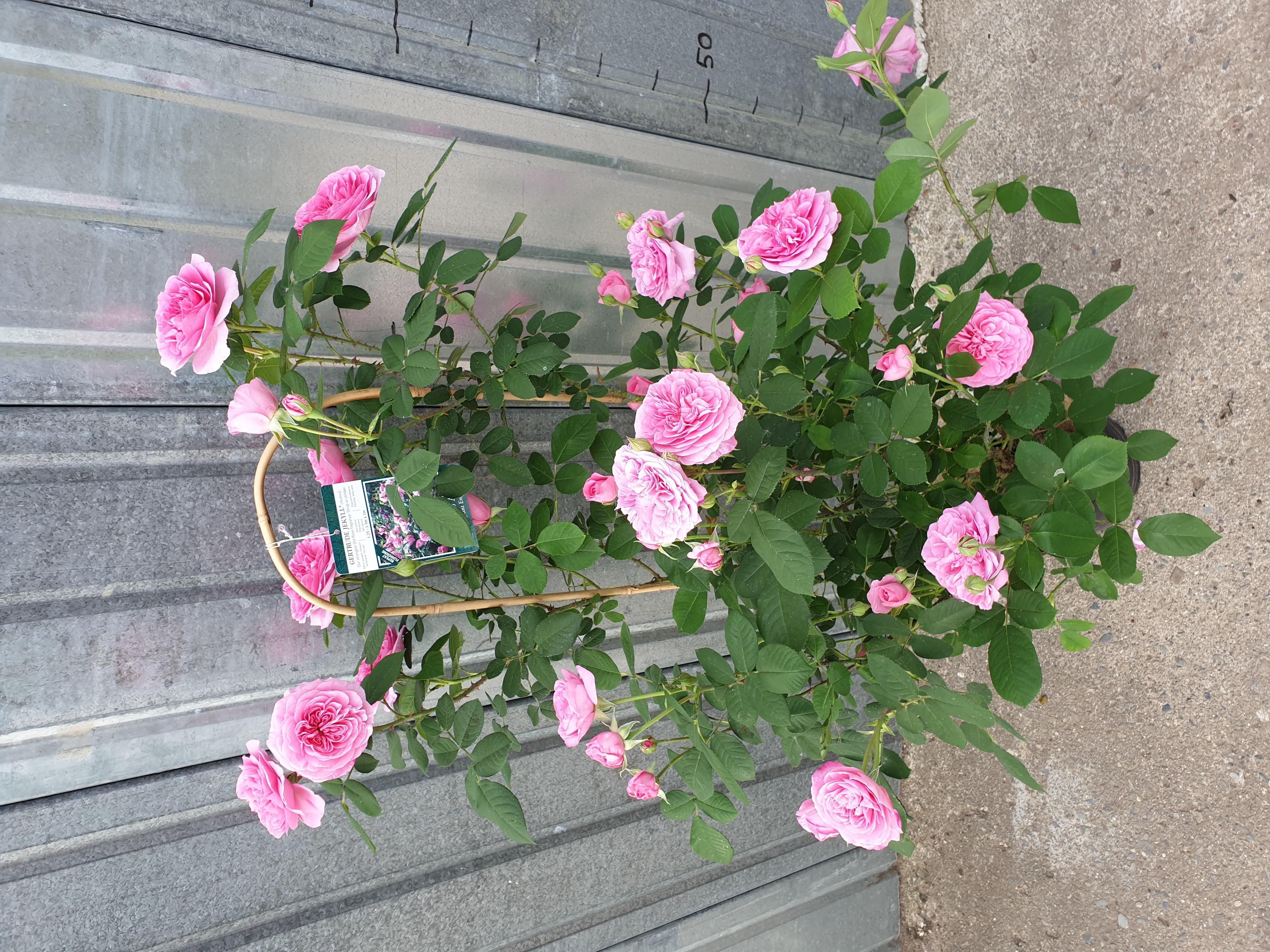 Rosier Gertrude Jekyll Grimpant pot 7,5 litres
