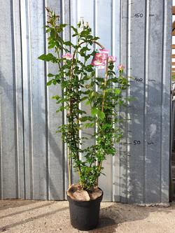 Rosier Grimpant Sweet Delight pot 7,5 litres