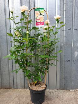 Rosier Grimpant Sweet Love pot 7,5 litres
