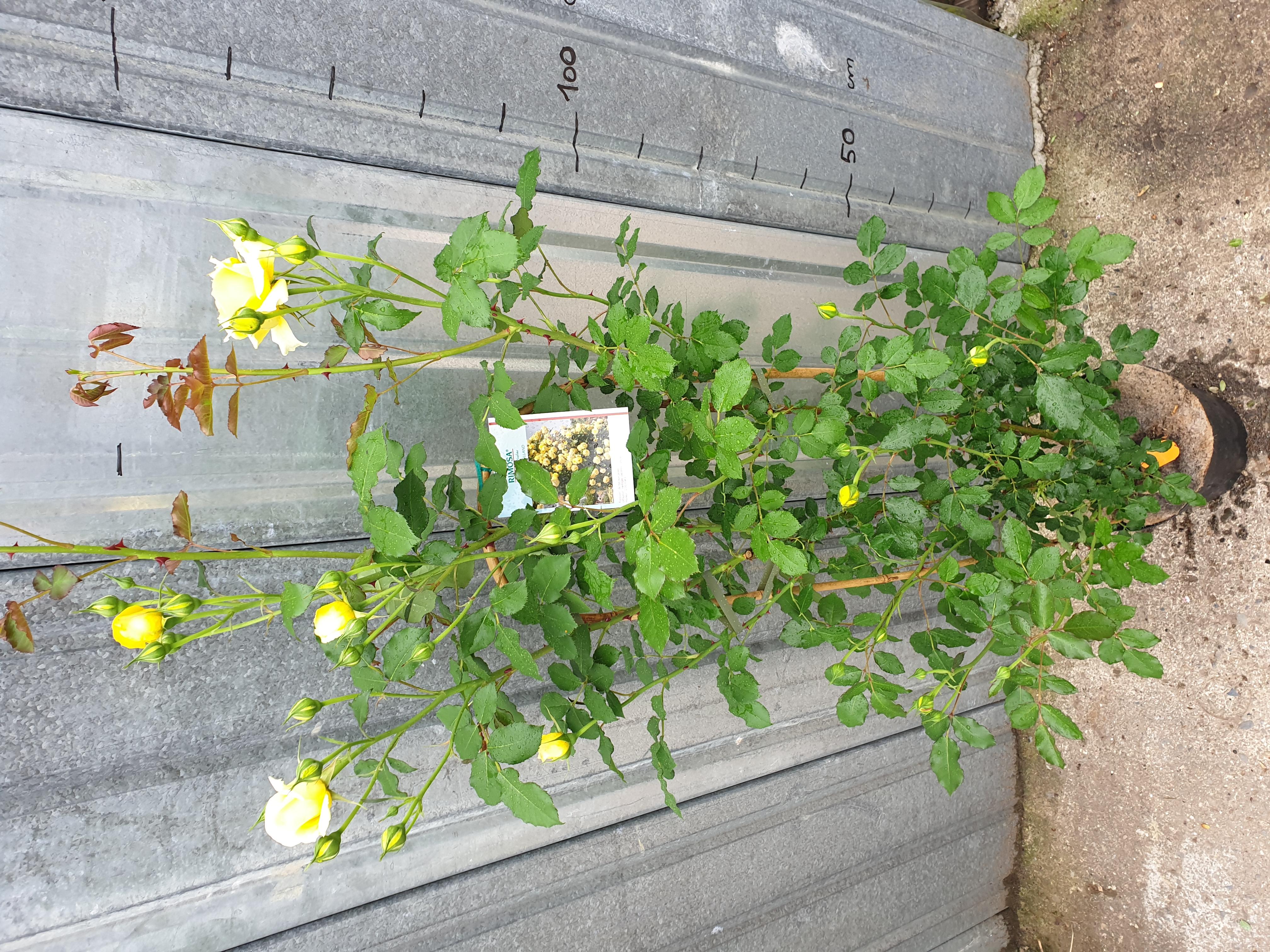 Rosier Rimosa Grimpant pot 7,5 litres