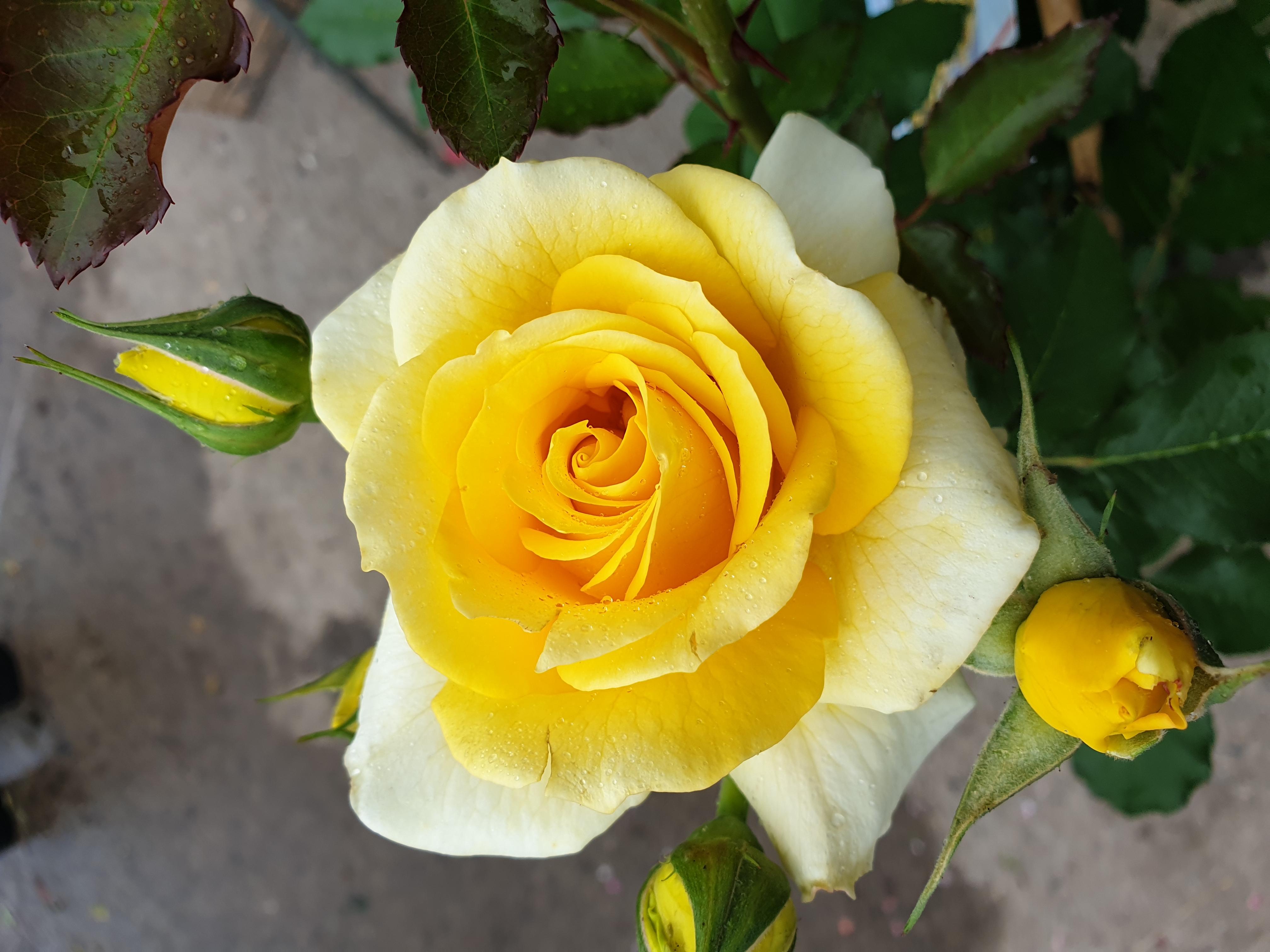 Rose Rimosa